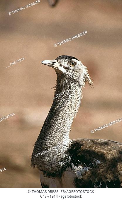 Kori Bustard (Ardeotis kori). Kruger National Park, South Africa