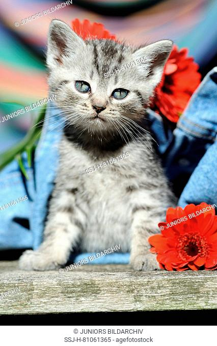 Domestic cat, European Shorthair. Kitten looking out from denim trousers, with red Gerbera flowers. Germany