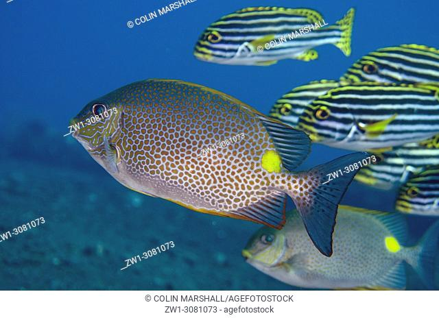 Golden Rabbitfish (Siganus guttatus, Siganidae family) and school of Oriental Sweetlips (Plectorhinchus vittatus, Haemulidae family)