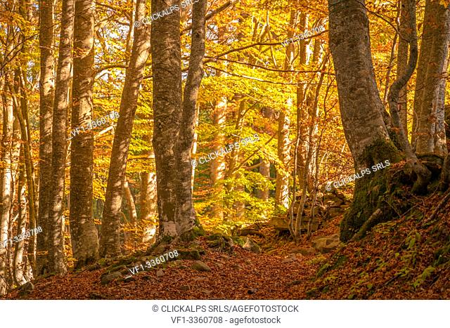 Beech trees in a forest, autumn in Italian Appennines. Bologna, Emilia Romagna, Italy