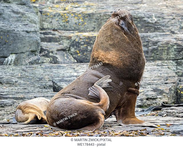Dominant bull with female on rocky coast. South American sea lion (Otaria flavescens, formerly Otaria byronia), also called the Southern Sea Lion or Patagonian...