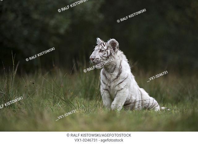 Royal Bengal Tiger / Koenigstiger ( Panthera tigris ), white morph, sitting in grass, on a small clearing, close to the edge of a forest