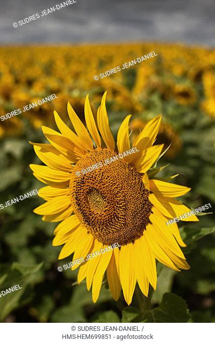 France, Charente Maritime, Saintes, field of sunflowers in bloom