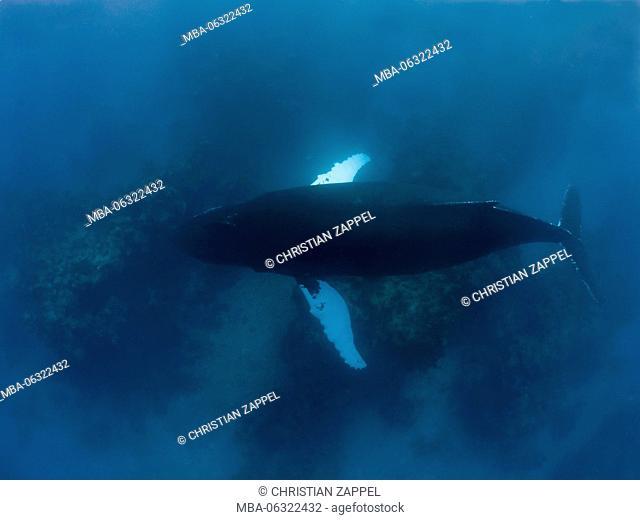 Humpback Whale, Megaptera novaeangliae, Silverbanks, Caribbean, Dominican Republic, Central America