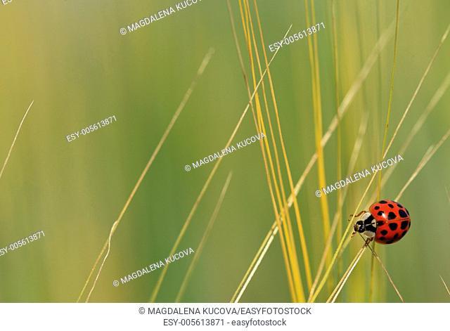Close up of ladybird on straw
