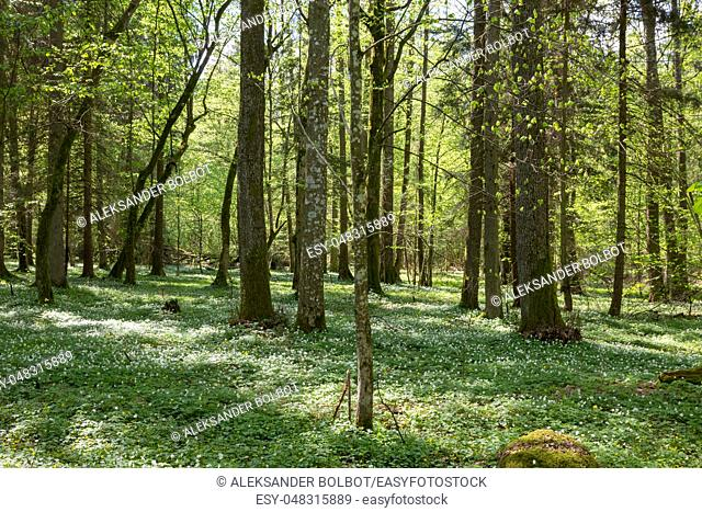 Juvenile hornbeam forest with flowering anemone in spring, Bialowieza forest, Poland, Europe