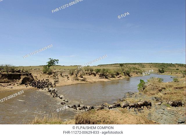 Blue Wildebeest Connochaetus taurinus herd, at river crossing on migration, Masai Mara, Kenya