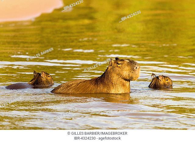 Capybara (Hydrochoerus Hydrochaeris) with young in water, Northern Pantanal, Brazil