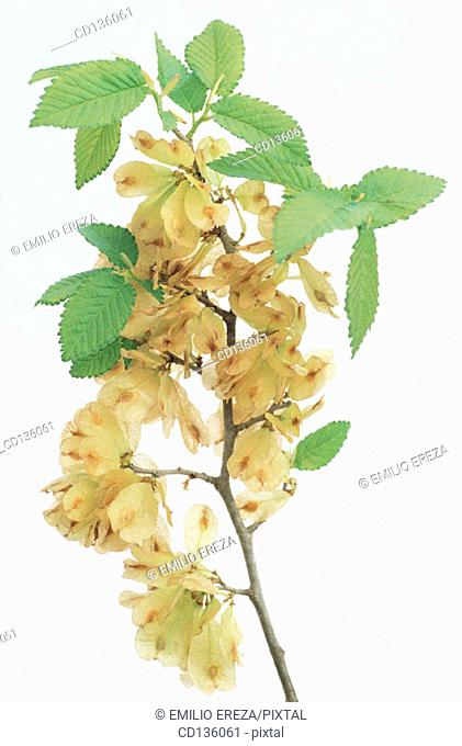 Smooth Leaved Elm (Ulmus carpinifolia)
