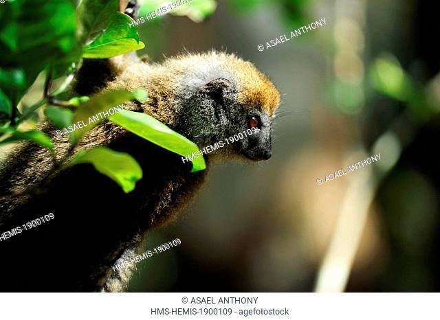 Madagascar, Andasibe Mantadia National Park, Ile aux Lemuriens, endangered primate Golden Bamboo Lemur (Hapalemur aureus) in the trees
