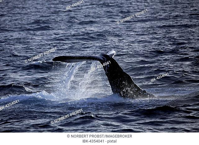 Humpback whale (Megaptera novaeangliae) species-typical behavior, hitting tail on water surface, tail slapping, Silver Bank, Silver and Navidad Bank Sanctuary
