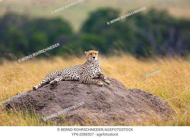 Cheetah (Acinonyx jubatus) lying on termite mound, Masai Mara, Kenya