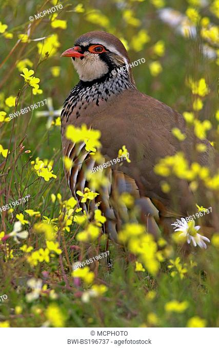red-legged partridge (Alectoris rufa), in a flower meadow, Spain, Extremadura