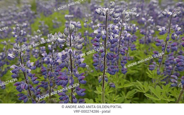 Lupin flowers, left to right slider dolly shot, close-up