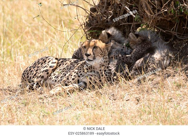 A female cheetah looks into the distance from the shade of a small bush on the African savannah. Behind her are her four young cubs, all fast asleep