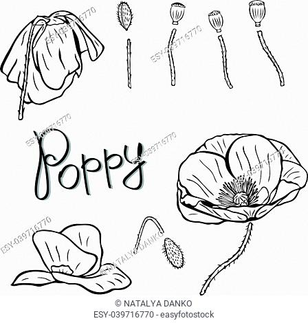 flower details: buds, stems and poppies, contour pattern isolated on white background