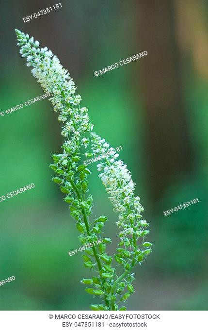 Pod of wild plant, white and green, taken in the woods