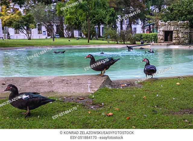 Muscovy ducks in Jardim Braamcamp Freire garden in Campo de Santana area in Arroios district of Lisbon, Portugal