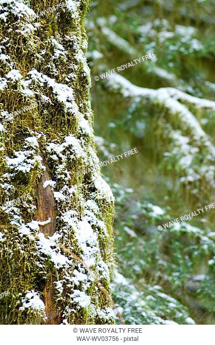 Close up of snowy trees of old growth forest in Cathedral Grove in MacMillan Provincial Park, near Port Alberni, Vancouver Island, BC