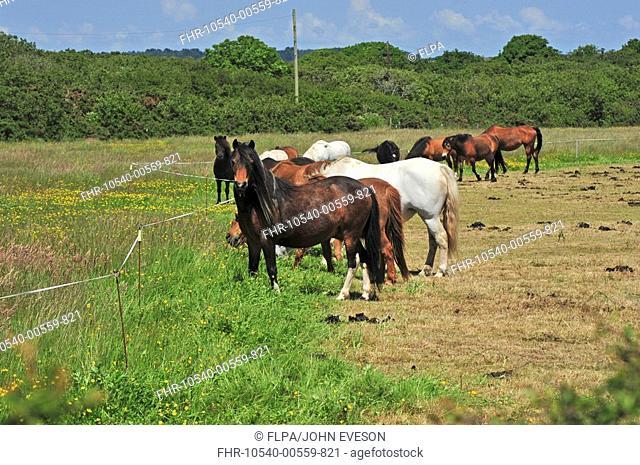 Horse, herd, strip grazing in pasture, England