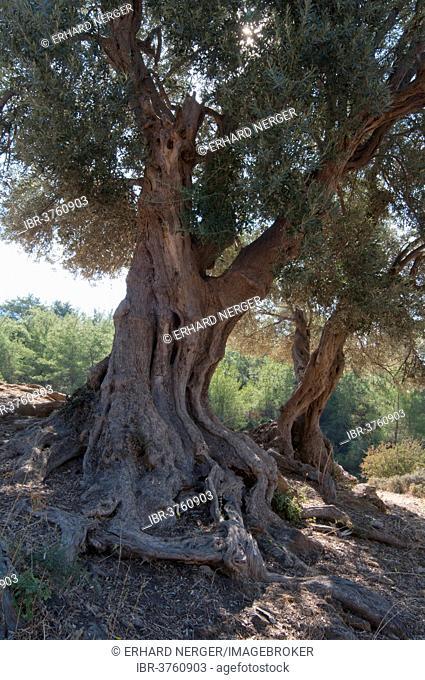 Olive trees (Olea europaea), Özdere, Izmir Province, Aegean Region, Turkey