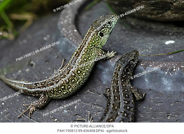 09 August 2019, Schleswig-Holstein, Kiel: Two old animals of sand lizards sit on a stone jug. The Schleswig-Holstein Foundation for Nature Conservation is...