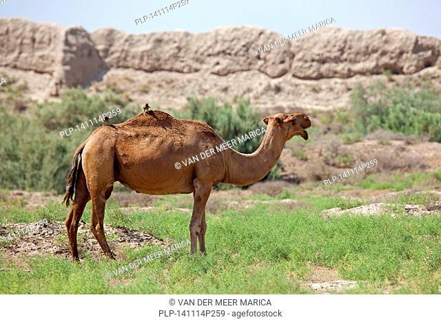Dromedary / Arabian camel (Camelus dromedarius) in the Karakum Desert, Turkmenistan