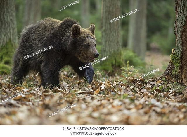 European Brown Bear (Ursus arctos), young, walking / strolling through a forest, exploring its surrounding.