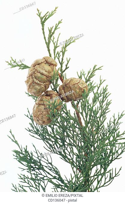 Mediterranean Cypress (Cupressus sempervirens)