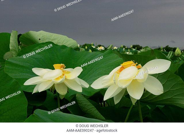 American Lotus (Nelumbo lutea) Mannington Marsh, NJ - rare plant in NJ