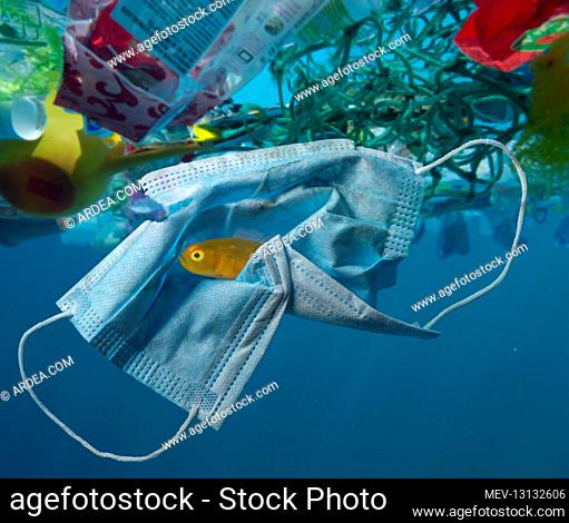 Surgical mask drifting in the ocean along with other plastic waste. Note Yellow Pygmy Goby, Lubricogobius exiguus, (about 2cm size) hiding inside the mask folds