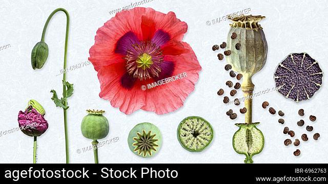 Opium poppy (Papaver somniferum), flower, capsule, seed, picture panel, Germany, Europe