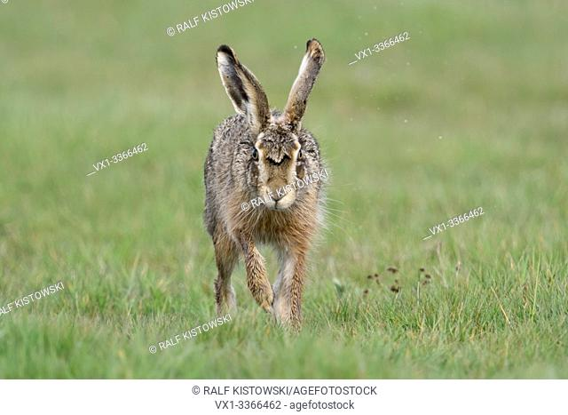 Brown Hare / European Hare / Feldhase ( Lepus europaeus ) running towards camera, the photographer, eye contact, looks funny, wildlife, Europe