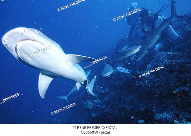 White-tip Reef Shark (Triaenodon obesus). Mamanucas. Fiji Islands