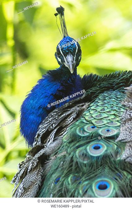A blue peafowl in Wild park Potzberg/Germany