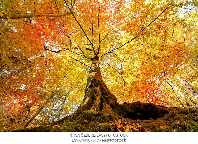 Bottom view of tops of trees with orange and red leaves in autumn. Morning scene in colorful woodland. Nature concept background