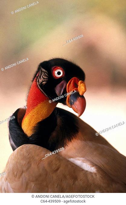 Lesser yellow-headed vulture (Cathartes burrovianus). Moxos, Amazonia, Bolivia