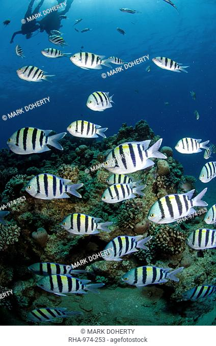 Shoal or school of sergeant major fish, Abudefduf vaigiensis, Naama Bay, off Sharm el Sheikh, Sinai, Egypt, Red Sea, Egypt, North Africa, Africa