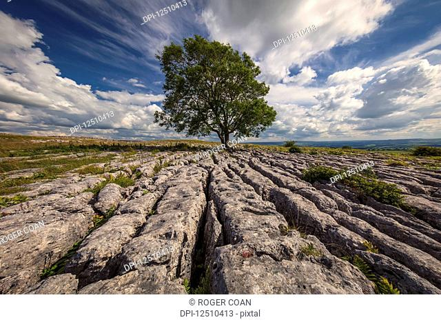 A lone tree growing in limestone in the Yorkshire Dales; Malham, North Yorkshire, England