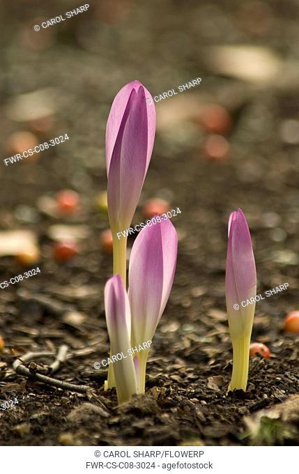 Crocus, Colchicum autumnale, Autumn crocus