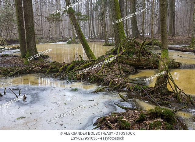 Moss wrapped tree parts over melting snow in early spring,Bialowieza Forest,Poland,Europe