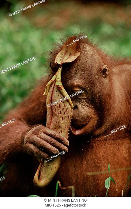 Bornean orangutan, Pongo pygmaeus, drinking from pitcher plant, Nepenthes sp., Sabah, Borneo
