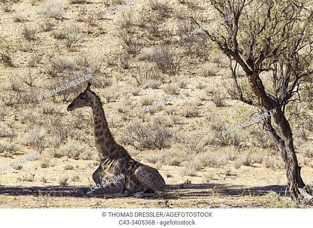 Southern Giraffe (Giraffa giraffa). Male. Resting in the shade of a grey camelthorn tree (Acacia haematoxylon). Kalahari Desert, Kgalagadi Transfrontier Park