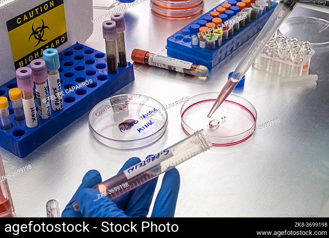 Scientist researching petri-disk S-protein samples in a laboratory, study of bison and covid-19 infection in humans, conceptual image