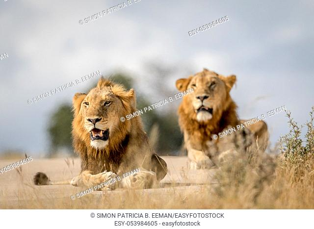 Two young male Lion brothers in the Kruger National Park, South Africa