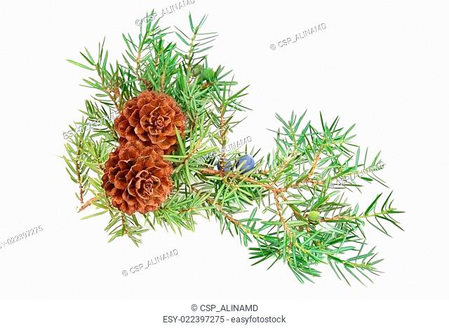 cones of spruce and juniper branchlet