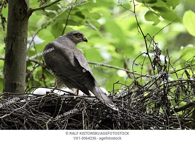 Sparrowhawk ( Accipiter nisus ), female adult, standing on the edge of its nest, watching back over shoulder, backside view, wildlife, Europe