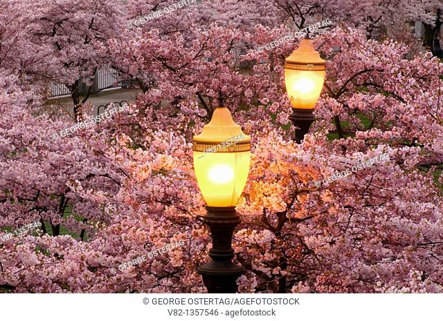 Cherry bloom with lamp, Tom McCall Waterfront Park, Portland, OR