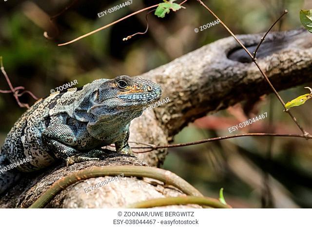 Black spiny tailed iguana on a branch