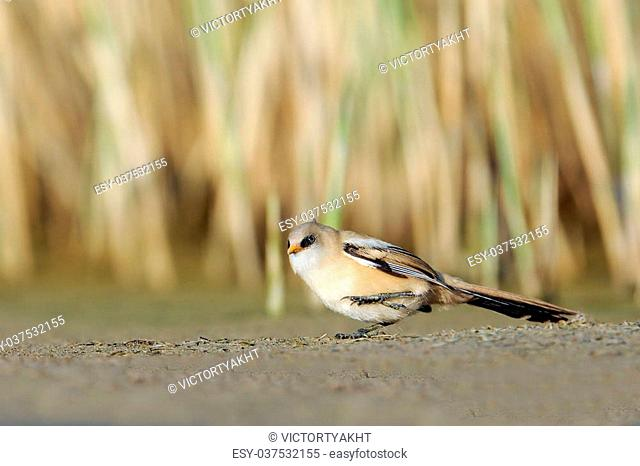 Juvenile Bearded Reedling (Panurus biarmicus) walking near the reeds in August. Manych lake, Kalmykia, Russia